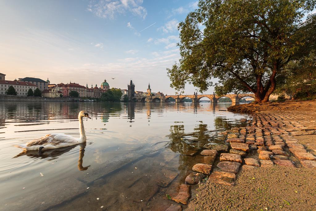 Cisne en el Moldava - Praga - Sergio Arias Ramón